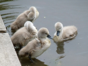 This years cygnets June 2011